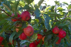 Clearview Orchards - Certified Organic, apples